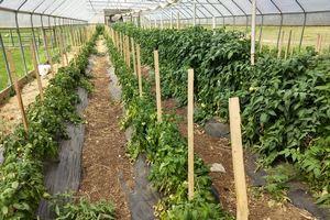 East Michigan vegetable update – July 24, 2019