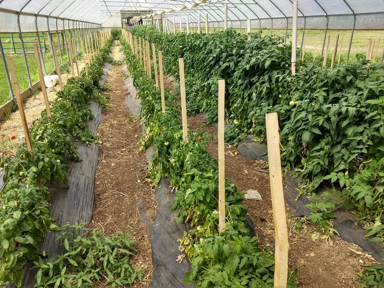 Grafted tomatoes in hoophouse