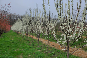 Southwest Michigan fruit update – April 13, 2021