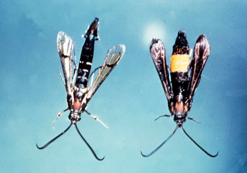 Adult is a clear-winged, metallic blue moth with one broad orange band (female, right), or two or mo