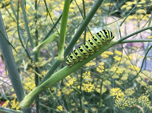 Swallowtail caterpillar on dill
