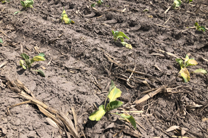 Southeast Michigan vegetable update – May 13, 2020