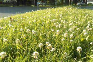 A lawn that mixes white clover with grass. Photo: Rufus Isaacs, MSU.