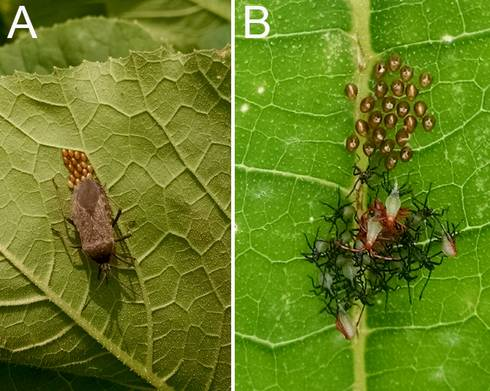Figure 1. (A) Squash bug adult laying eggs, and (B) newly hatched eggs and early nymphs. Photo credit: A.L. Buchanan