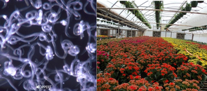 Nematodes in ornamental plant production: Good or bad?