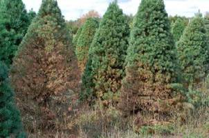 Early needle loss caused by brown spot needle blight shows up on infected Scotch pine in the fall before harvest making Christmas trees unsalable.