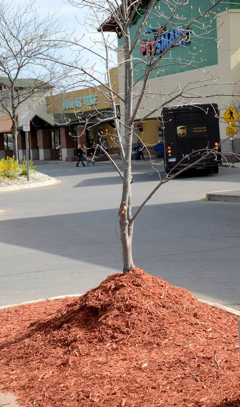 "A ""mulch volcano"" around the base of a tree. Trees should have a 6-inch, mulch-free ring around them. Photo by Duke Elsner, MSU Extension."