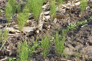 Field horsetail. Photo: Christy Sprague, MSU.