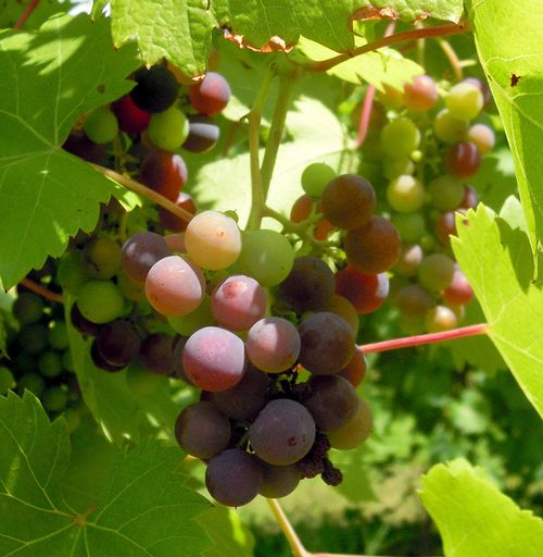 Veraison is the color change of grape berries indicating the beginning of ripening when grapes become sweeter. All photos: Mark Longstroth, MSU Extension.