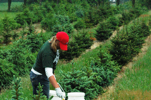 Soil and nutrient foliar tests will help you to improve growth and quality of nursery stock and Christmas trees. All photos by Bert Cregg, MSU