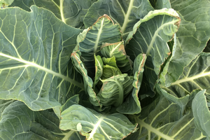 East Michigan vegetable update – Aug. 21, 2019