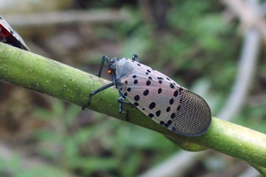 Detection of dead spotted lanternflies in Michigan highlights the need for vigilance