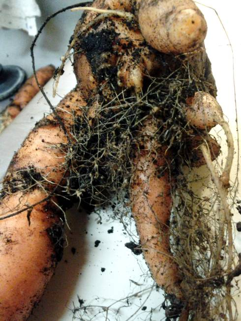 Carrot exhibiting symptoms of northern root-knot nematode