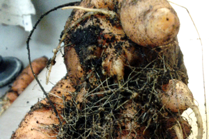 When it comes to carrots: Want not, root-knot