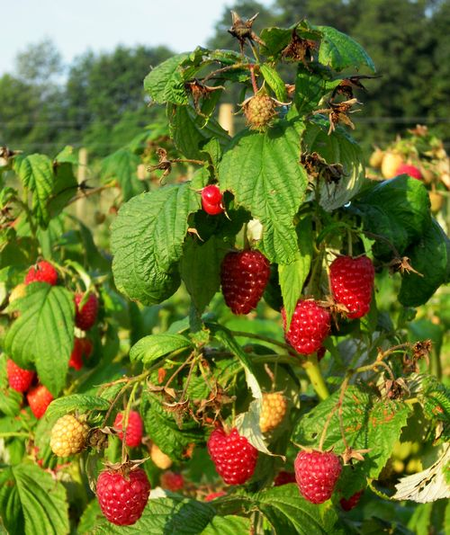 Fall raspberry harvest is in full swing. Photo by Mark Longstroth, MSU Extension