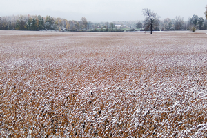 Photo 1. Early snow cover on late maturing soybeans.