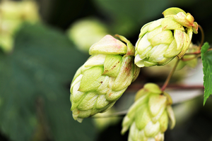 Hops and craft beer