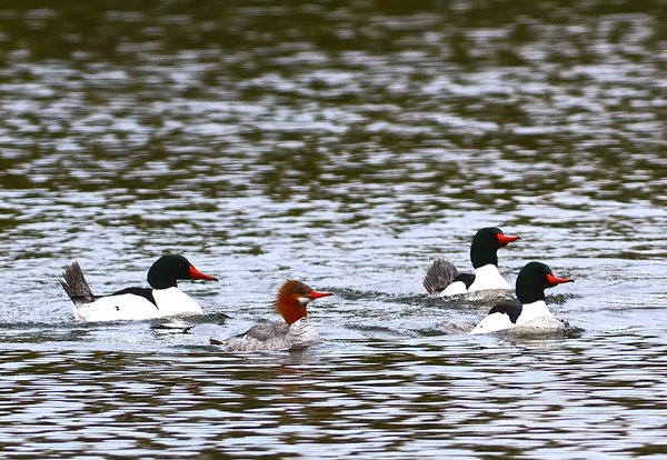 Common Mergansers, found to be the most prevalent host of the swimmer's itch on northern Michigan lakes, swimming on Glen Lake. (Photo:  Rob Karner)