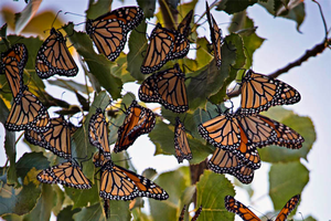 Migrating monarchs across our Great Lakes coastlines