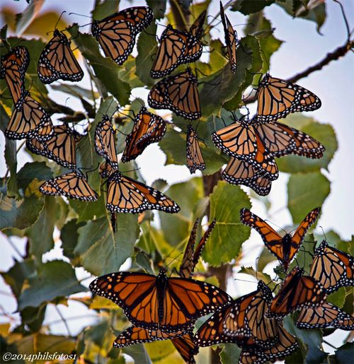 Monarch butterflies massing at Tawas Point this September during their migration. Photo credit: Phil Odum