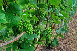 Michigan grape scouting report – July 22, 2020