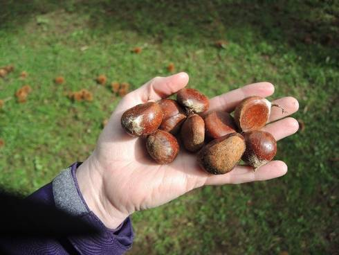 Fresh, edible, sweet Michigan chestnuts.