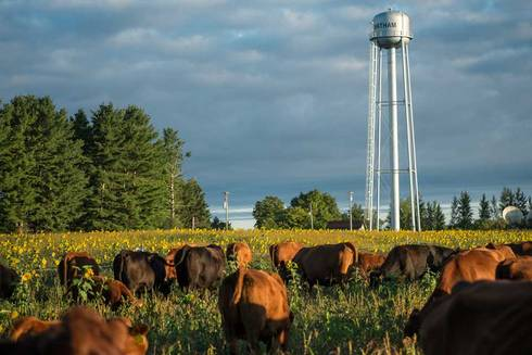 Cattle graze cover-crop-filled paddocks at the Upper Peninsula Research & Extension Center. Photo by Kurt Stepnitz.