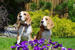Beagles in a garden