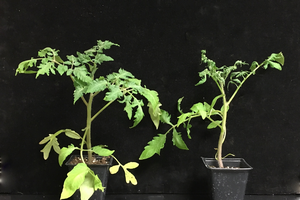 Tomato injured from ethylene exposure