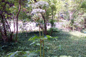 Giant hogweed: Not widely spread in Michigan