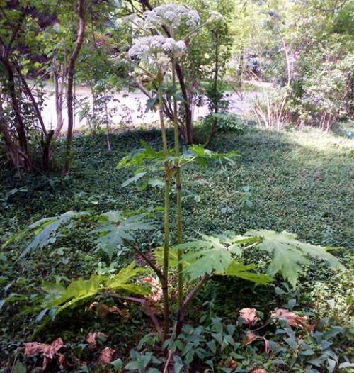 Mature giant hogweed plant from the side. Photo credit: Angela Tenney, MSU Diagnostic Services