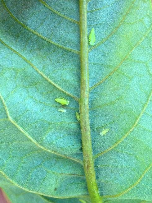 Immature potato leafhoppers along a mid-vein on the underside of a chestnut leaf. Photo: Mario Mandujano, MSU.