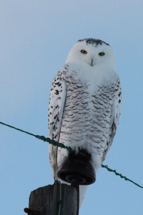 A snowy owl perches on a telephone pole. These birds can be found with the help of a new online map. Photo: Steve Baker