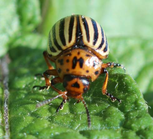 Colorado potato beetle. Photo: Fred Springborn, MSU Extension