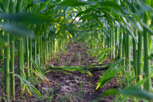 Corn nitrogen guidelines and focusing on the right rate