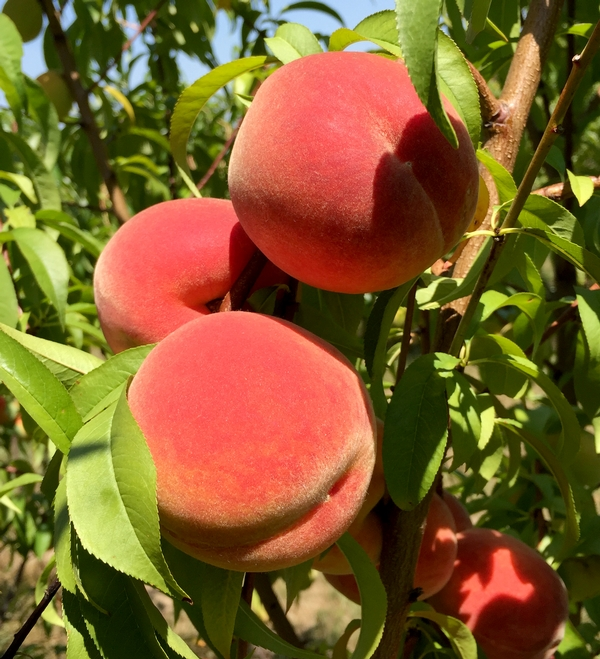 Brightly-colored Michigan peaches are being harvested now in southwest Michigan. Photo: Bill Shane, MSU Extension.