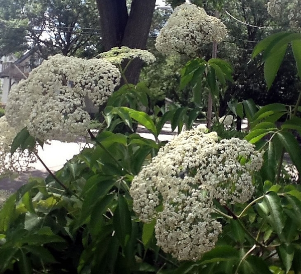 Native Elderflowers | Photo by Christopher J. Patton