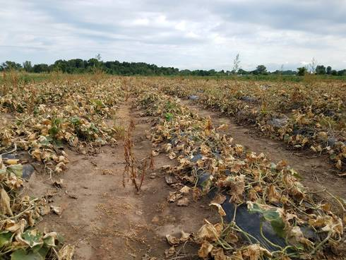 Cucumber field killed using a contact herbicide
