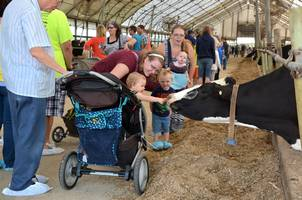 Child petting Holstein cow at Breakfast on the Farm.