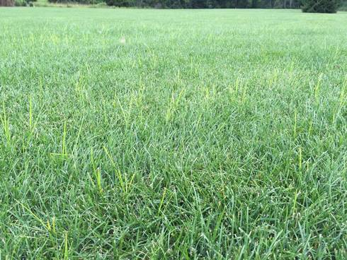 Yellow nutsedge growing faster than Kentucky bluegrass. Photo by Kevin Frank, MSU