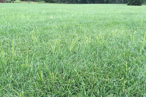 Controlling yellow nutsedge in turfgrass