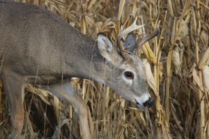 How to keep your crop field from becoming a wildlife food plot