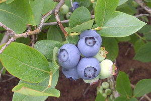 Growers believe blueberries will be ready for picking around July 4, or a week after for northern Michigan. Photo credit: Joy Landis l MSU Extension