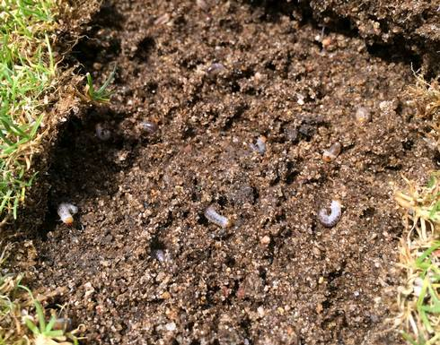 Turf can easily be peeled back due to grub feeding. Photo credit: Kevin Frank, MSU
