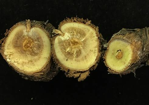 Petri disease symptoms in a young 'Pinot Noir' vine submitted for disease diagnosis