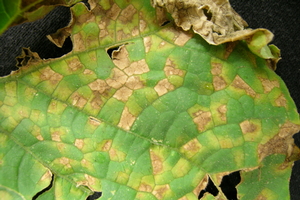 Cucumber downy mildew makes an early appearance in Michigan