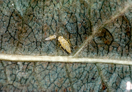 Nymphs are yellowish, wingless, and very mobile.