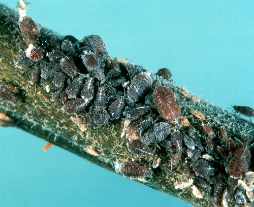 Colony of nymphs.