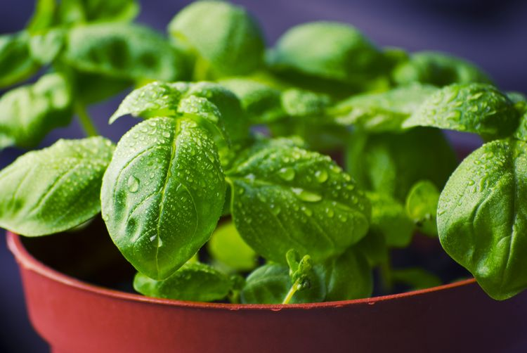 Growing herbs, like basil, indoors during the winter months will help add flavor to your favorite winter dishes.