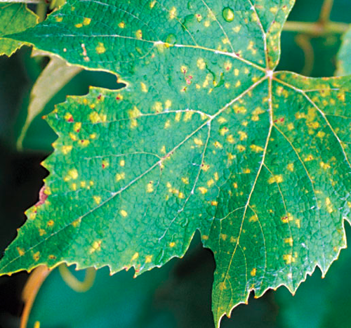 On older leaves, lesions are smaller and more angular as they are delimited by leaf veins.